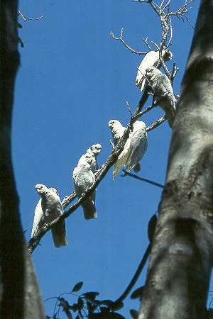 Goffini-Kakadus - Little Corellas