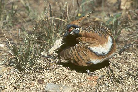 Spinifex-Taube - Spinifex Pigeon