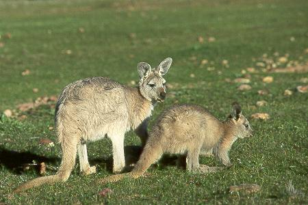 Wallaby mit Jungtier