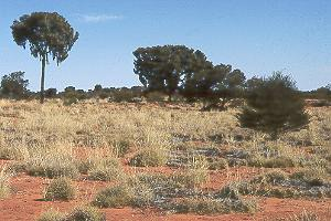 Spinifex, scrubs, and a tree